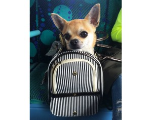 Dog blog new Chihuahua bag