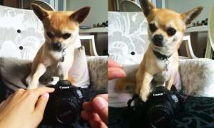 dog tricks chiwawa