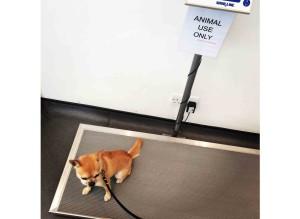 Chilli Chihuahua at the vet