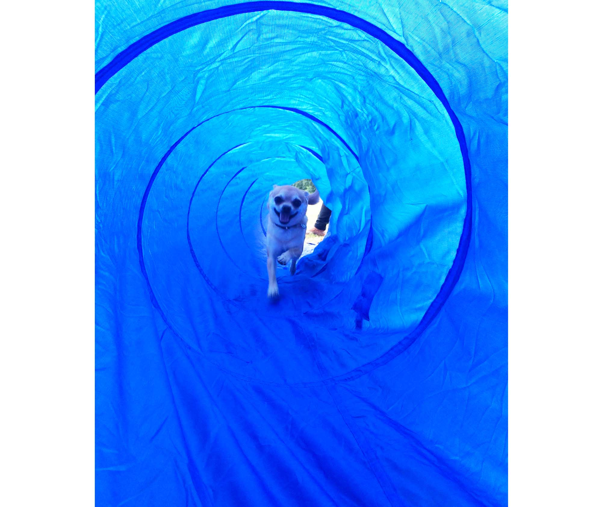Chilliwawa first tunnel dog agility training