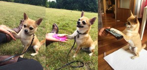 Chilli Chihuahua in dog training give paw