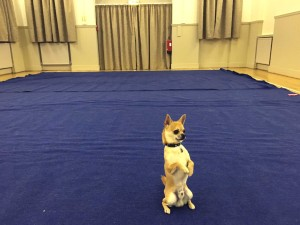 My first heelwork to music group class dog training
