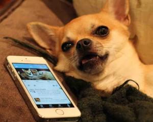 Chilli Chihuahua Chilliwawa on Twitter