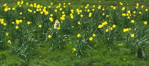 Chilli Chihuahua Chilliwawa running in field of daffodils