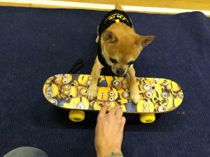 Chilli Chihuahua testing a skateboard