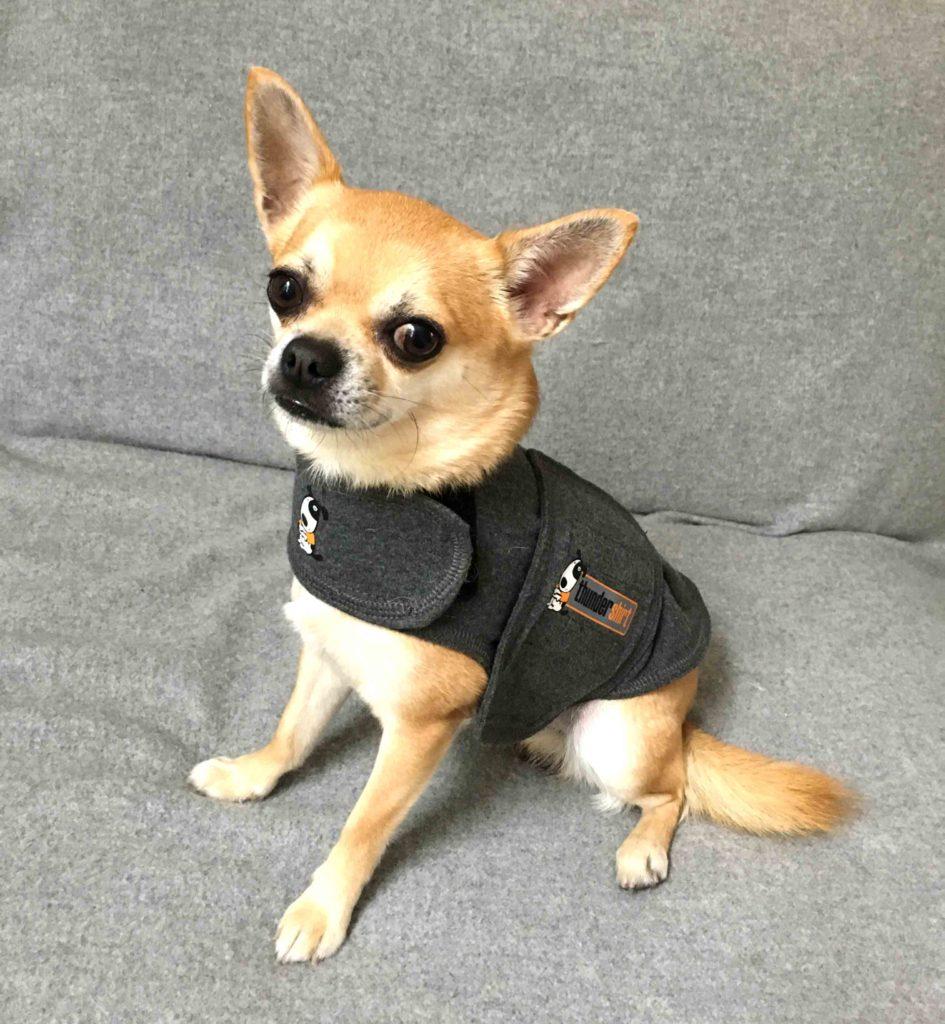 Chilli Wearing Thundershirt