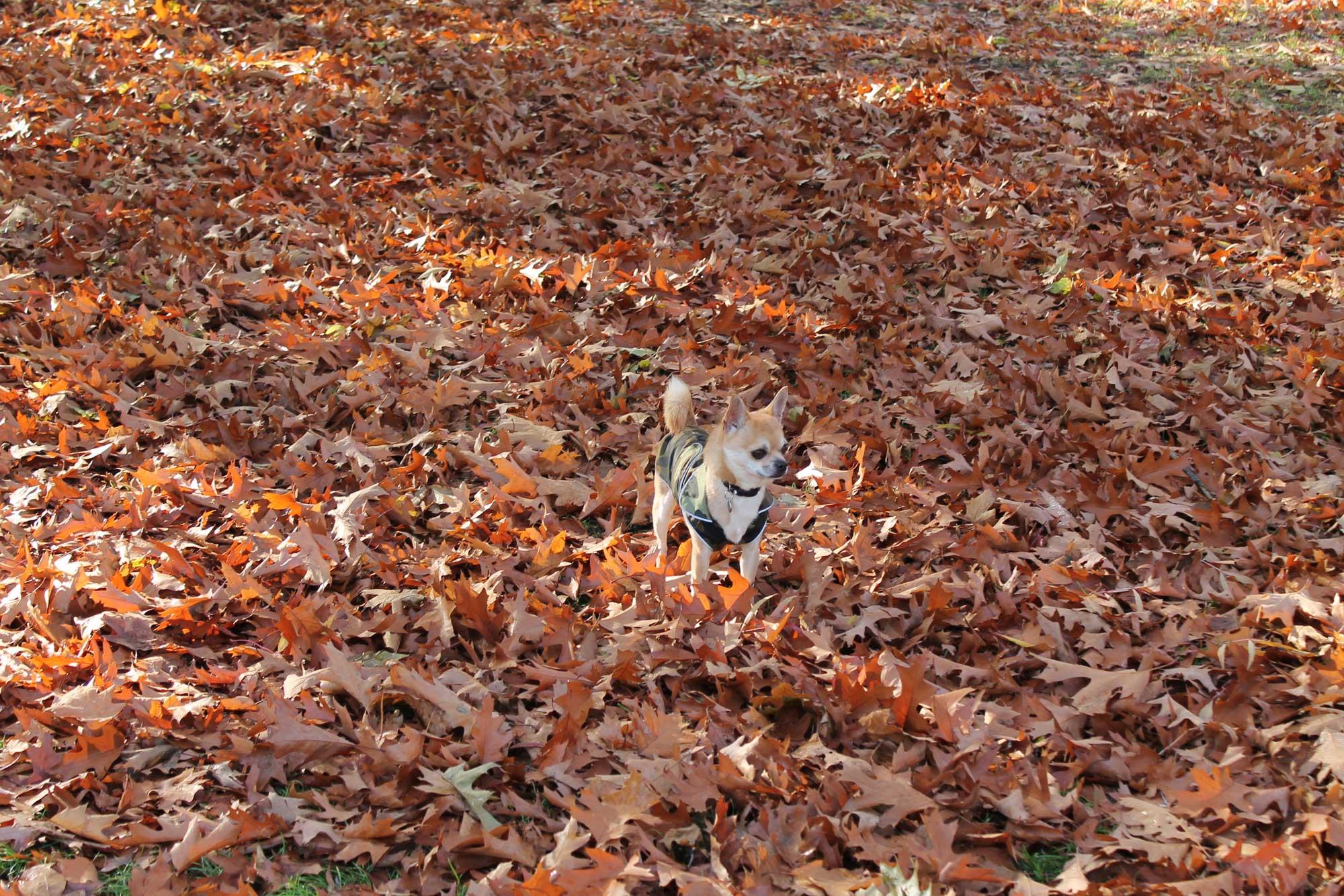 Chiwawa autumn leaves
