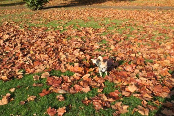 Chiwawa kicking leaves