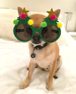 Chilli Chihuahua wearing Xmas tree glasses