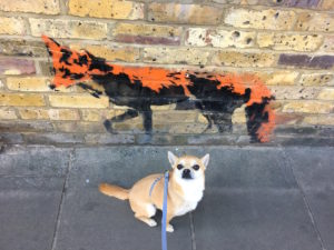 What do Chihuahuas and foxes have in common?