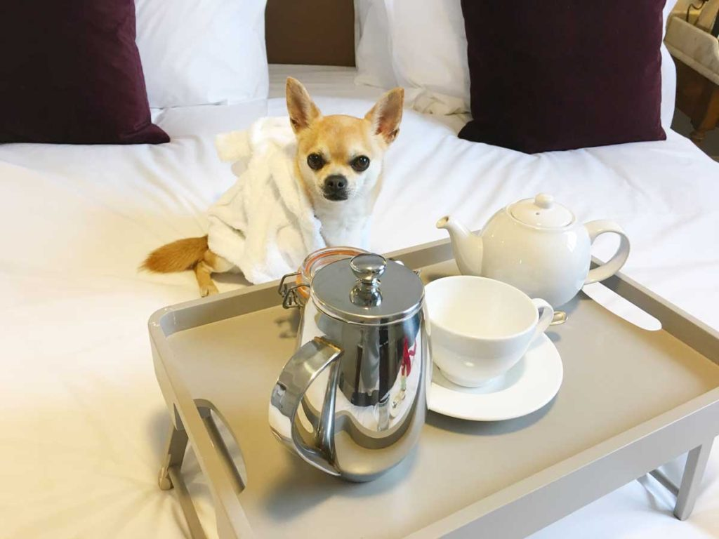 Chilli Chihuahua having breakfast in bed