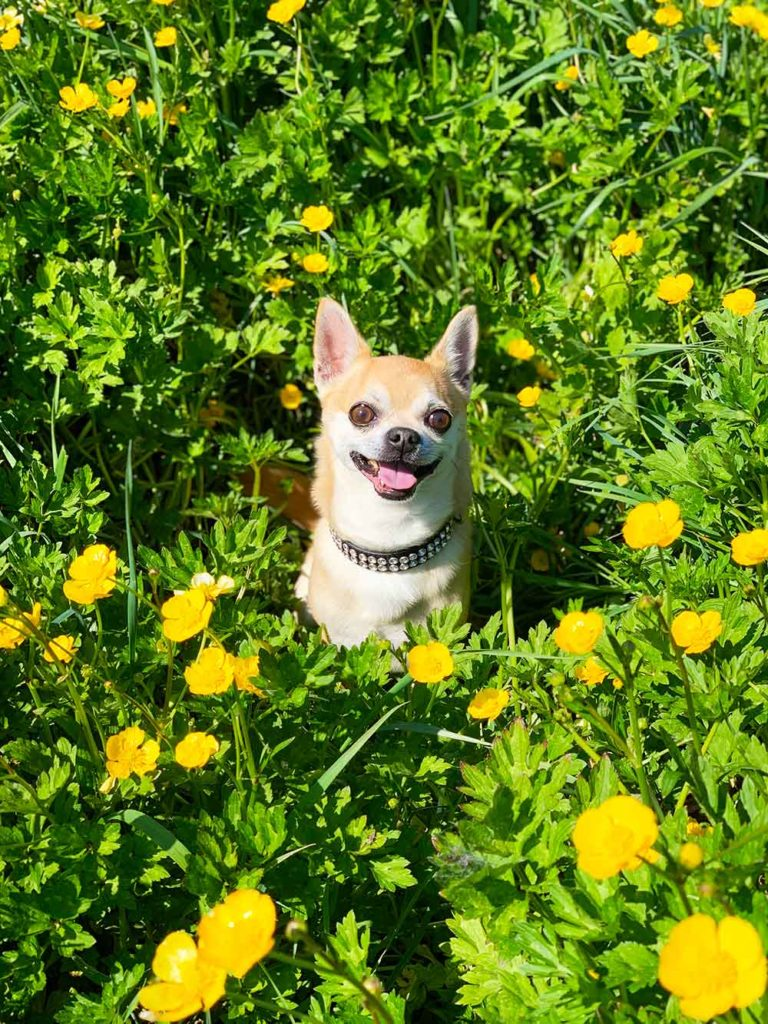 Chilli Chihuahua sitting in a field of flowers