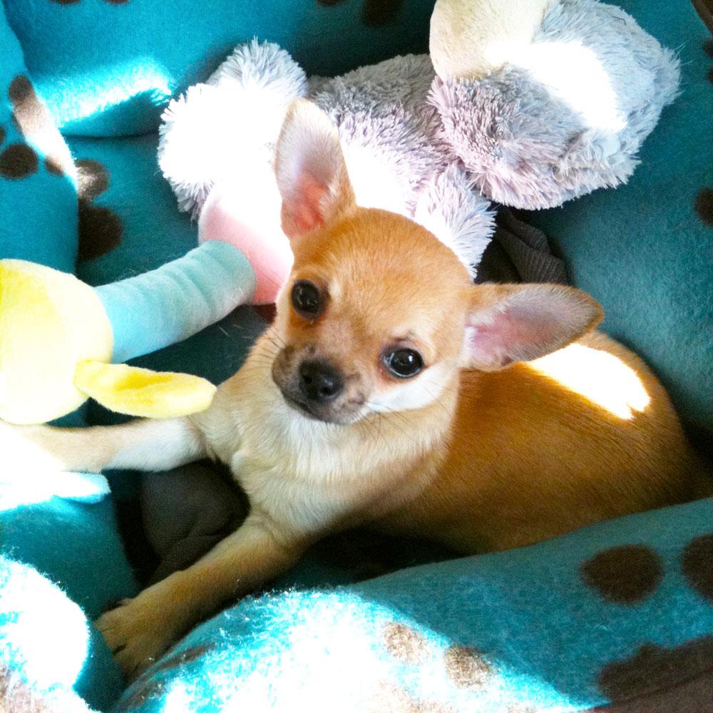 Chilli Chihuahua cute baby photo