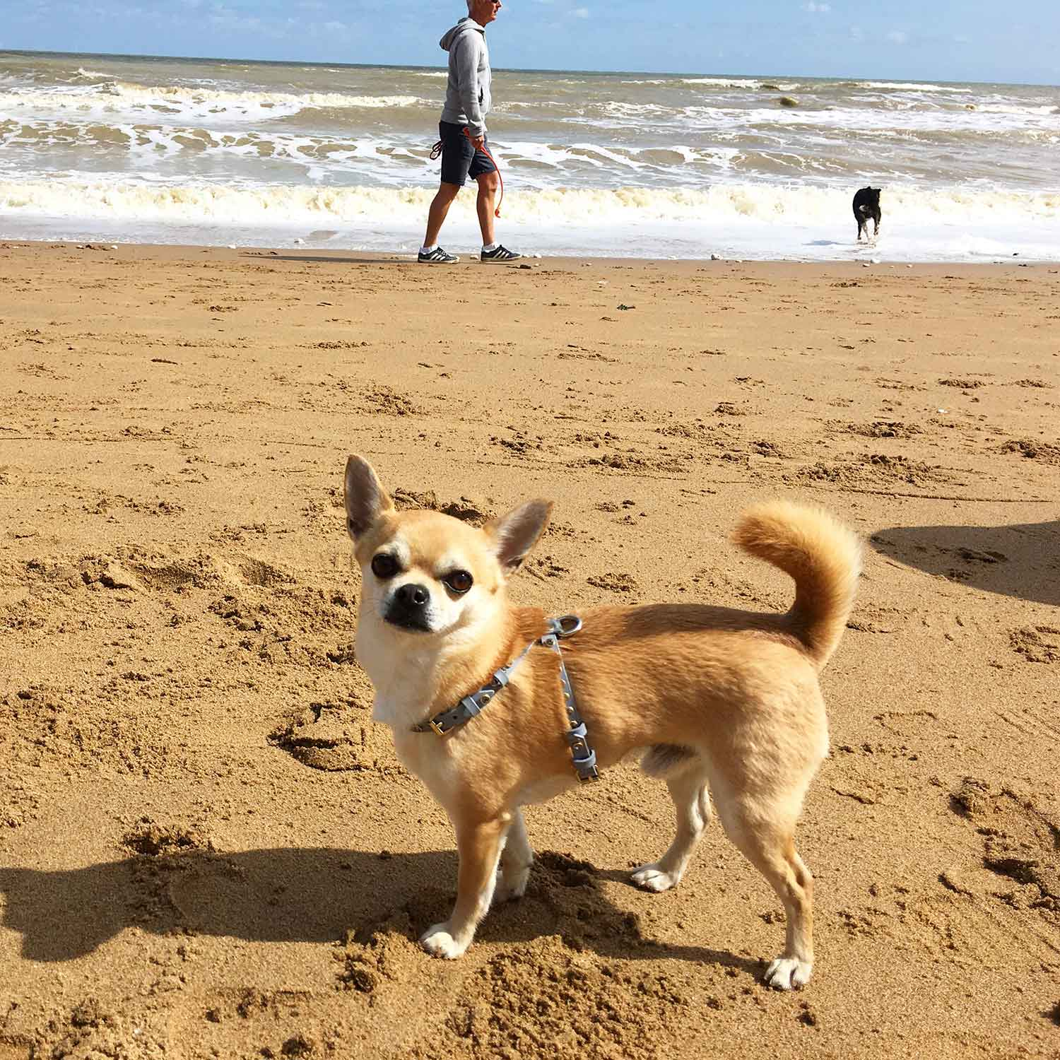 Chilli Chihuahua walking on the beach