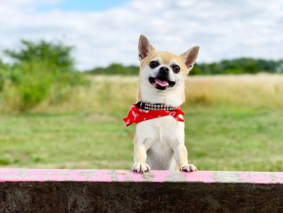 Chilli Chihuahua on a bench