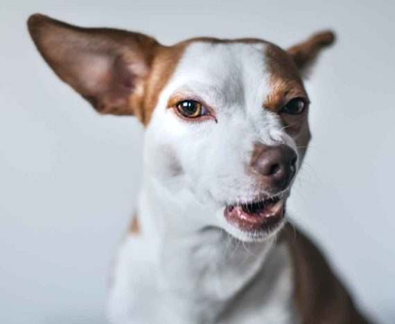 dog reactivity